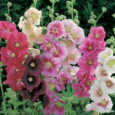 цвјетови сљеза