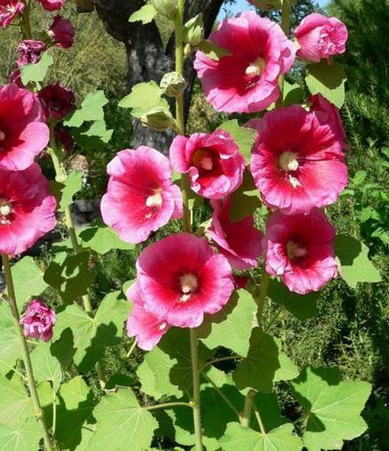 Својства цвијећа слезине