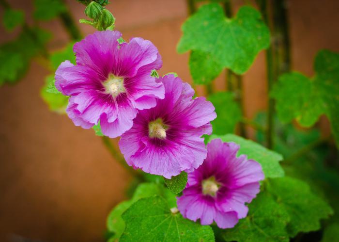 рецензије цвећа за слез
