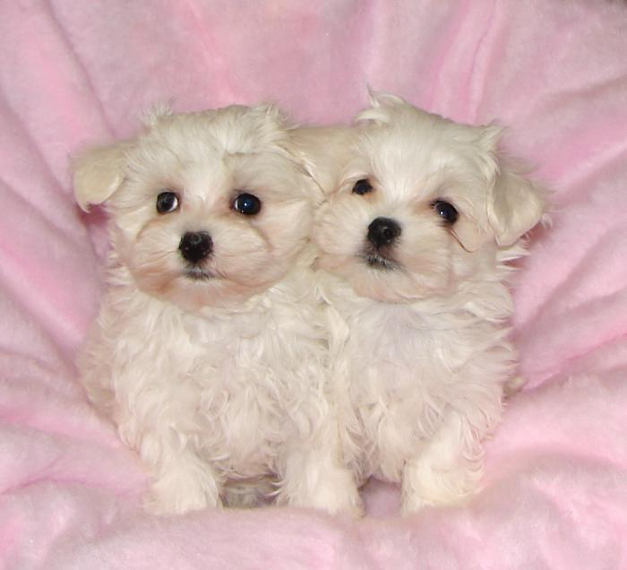 малтийски кученца