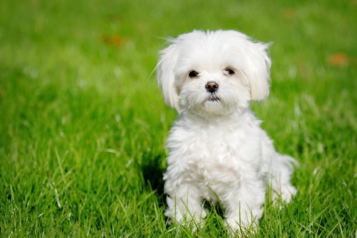 Малтийско куче