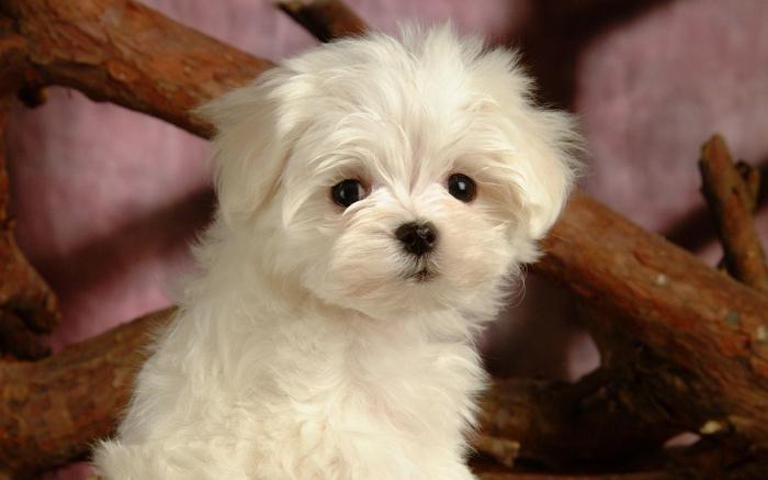 красиво куче Малтийски