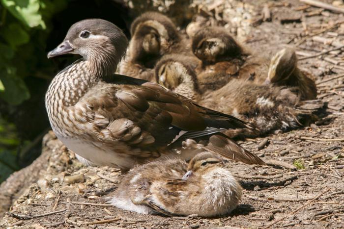 Мандарин патица, където живее