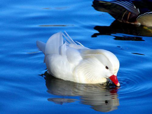бяла патица патица мандарина