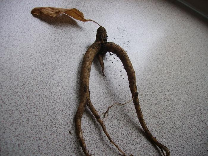 korijen mandrake
