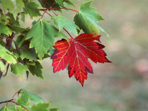 Javorovo lišće