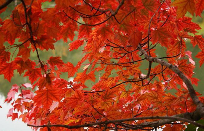 Liječenje s javorovim listovima