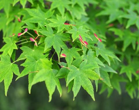 Javorski list u jesen
