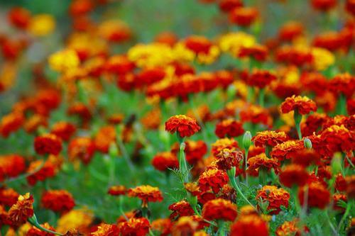 Marigold raste