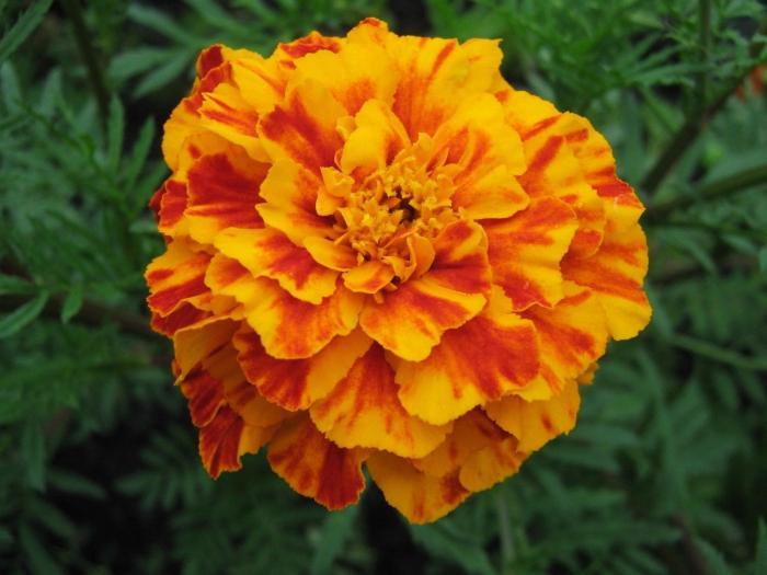 Kako rastu marigolde