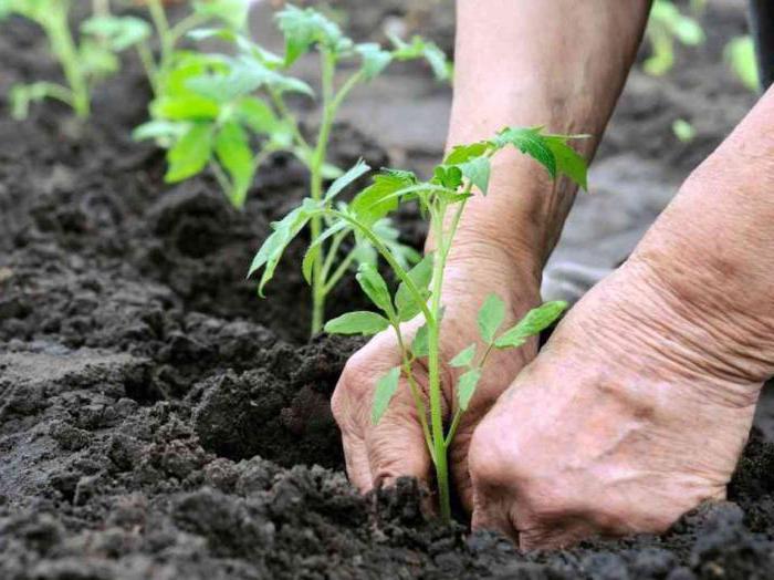 pasynkovanie rajčice u otvorenom tlu