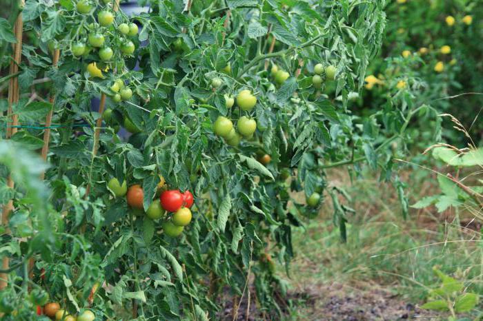 rajčica bez pasynkovke