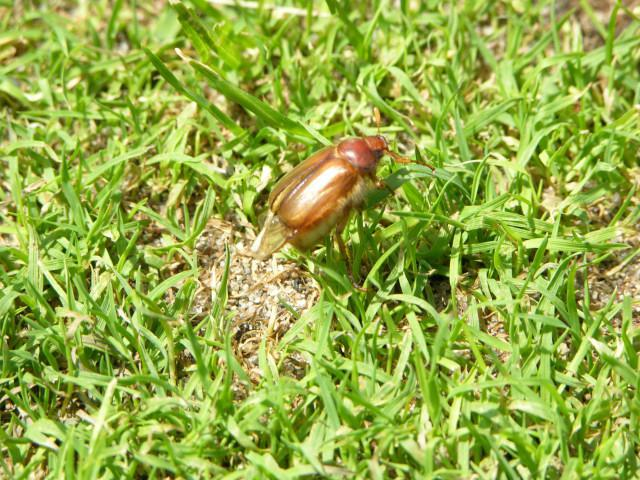 Cockchafer, insekt