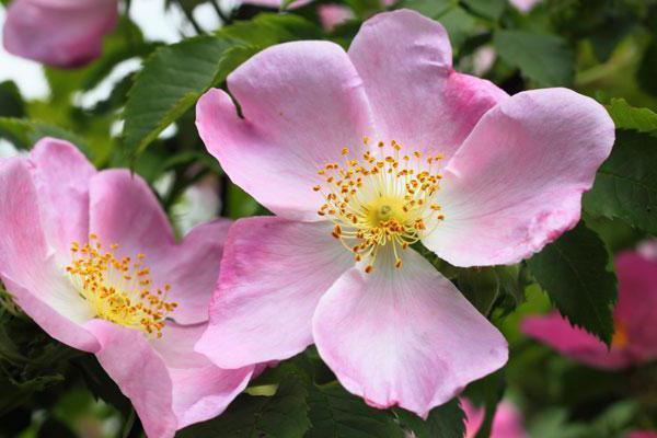 Qual è la rosa di maggio