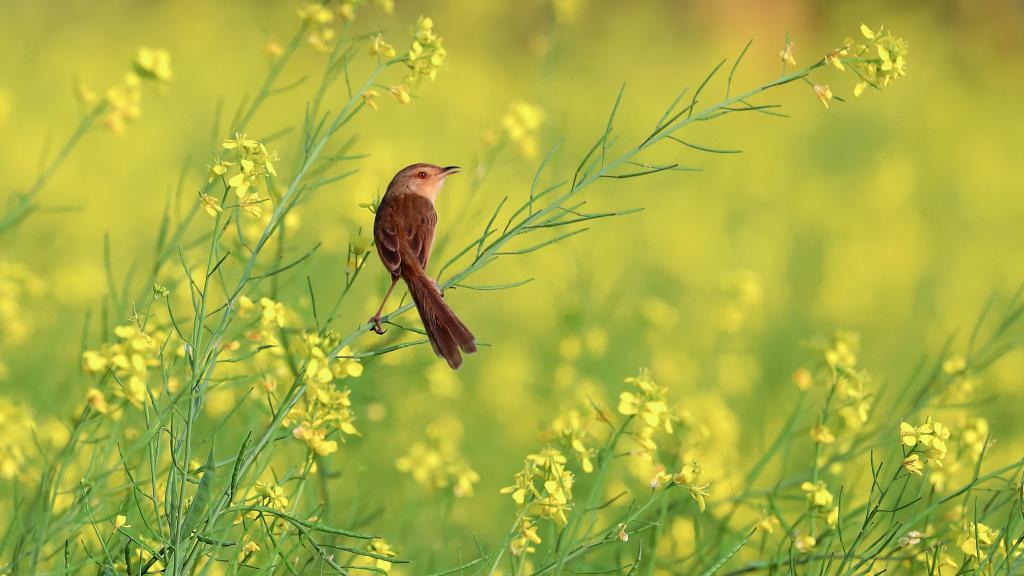 Uccello di prato