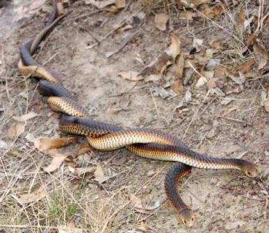 змија пандур него опасан
