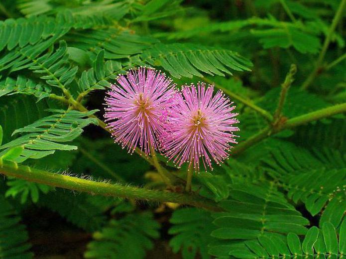cvijet mimoze