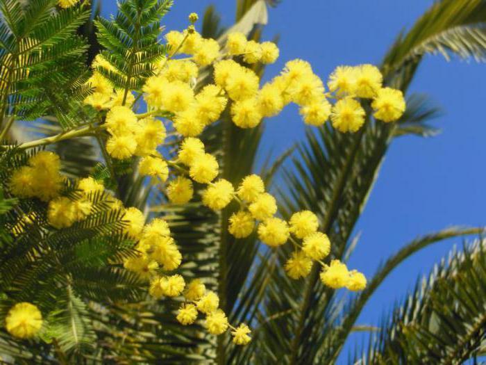 gdje mimoza raste