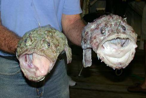 Foto di rana pescatrice