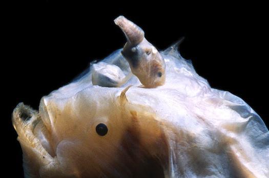 Allevamento di rana pescatrice