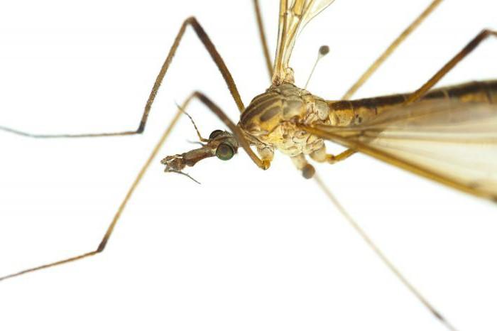 комарац стонога него опасан