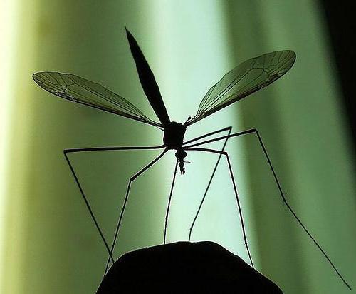 комарац са стонога фотографија