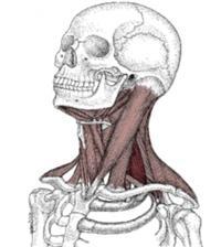 syndromu svalového tonického syndromu