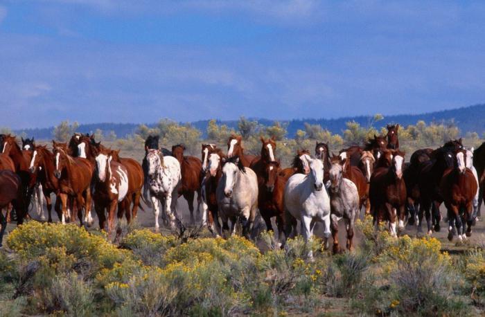 mustang di cavalli selvaggi
