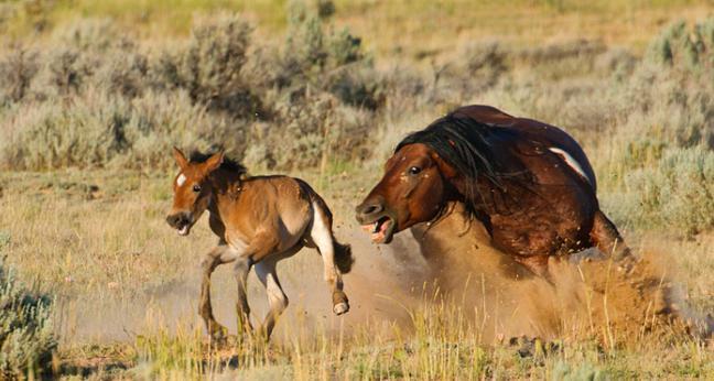 Cavalli mustang