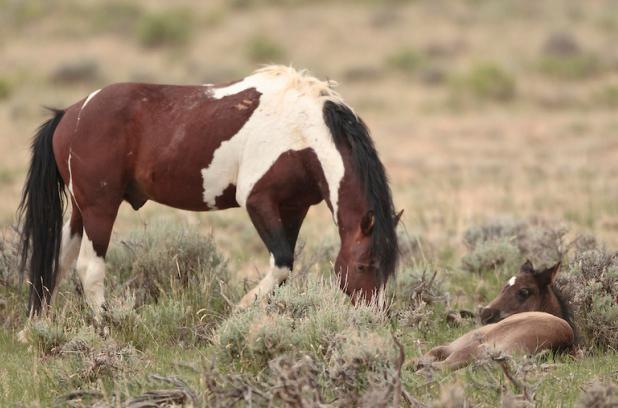 cavallo mustang nero