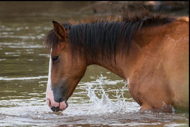 descrizione del cavallo mustang
