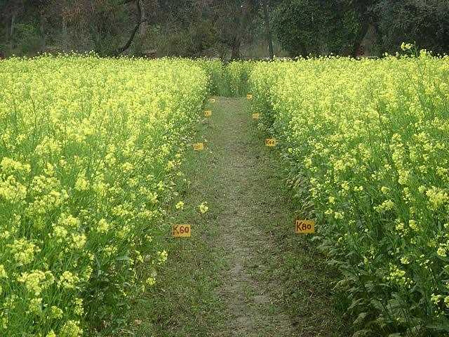 Semina la senape per fertilizzare il terreno