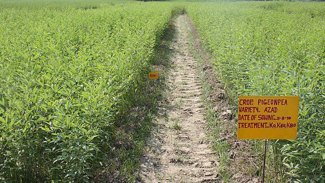 Il tasso di semina della senape ai siderati