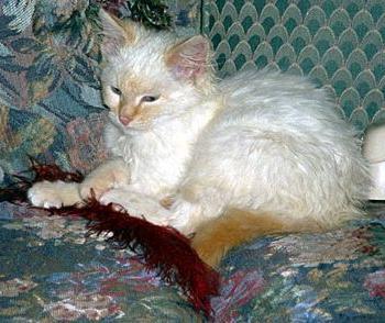 trattamento della micoplasmosi nei gatti