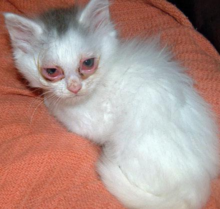 micoplasmosi nei gatti
