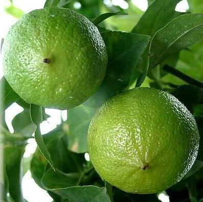 Slikovni rezultat za bergamot biljka
