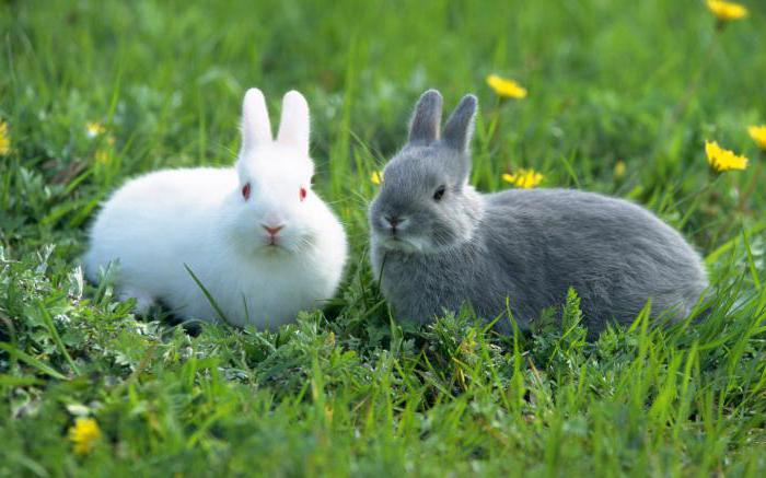 imiona dla królików