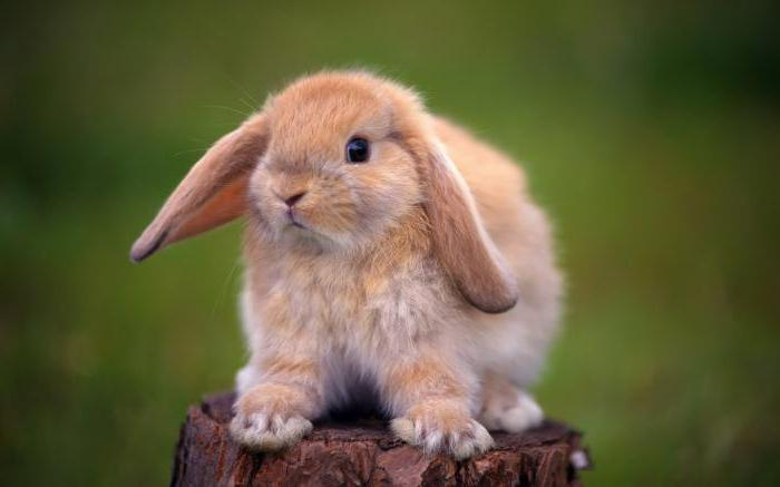nazwy dla królików ozdobnych