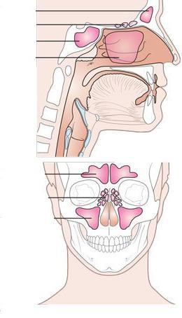 Структура на носната кухина