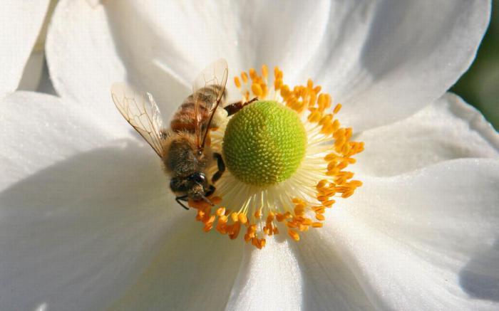 Цена на цвете мед