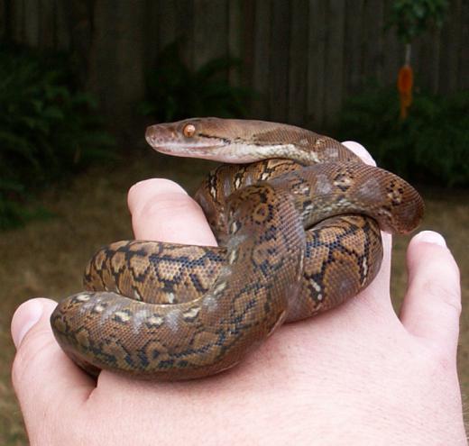 foto di python netto