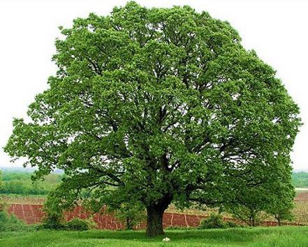 Дъбови листа