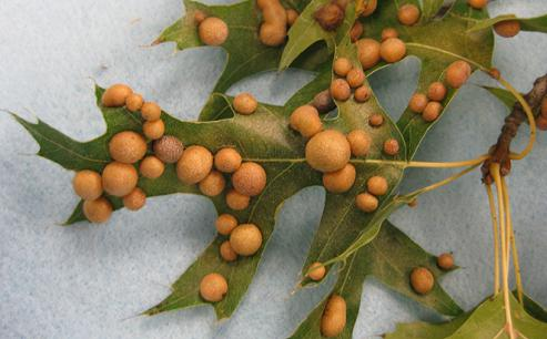 Дъбови листа (снимка)