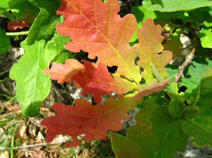 Дъбово листа, кленов лист