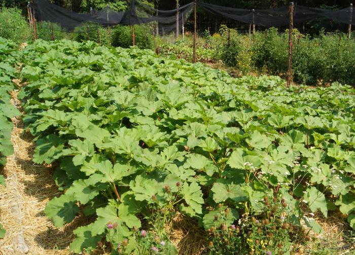 Roślina Okra
