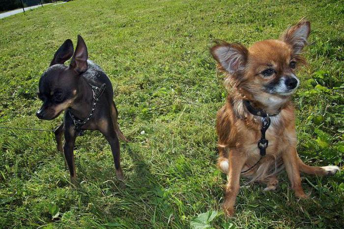 In quale giorno in calore hai bisogno di lavorare a maglia un cane Chihuahua