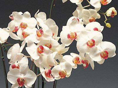затворени цвет, орхидеја