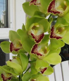 Орхидеје: врсте