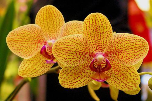 Орхидеје у собним условима
