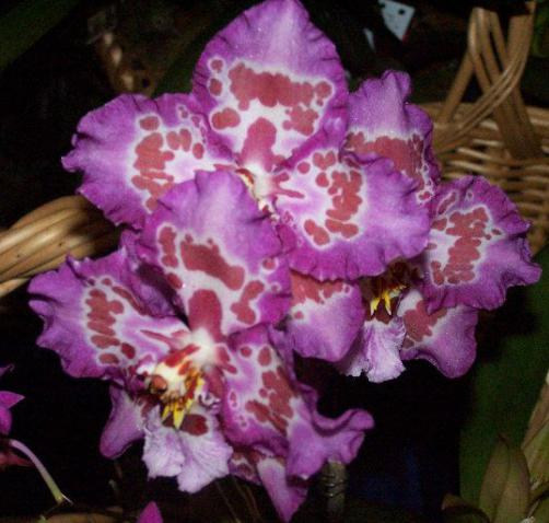 Нега за затворене цвеће: орхидеја
